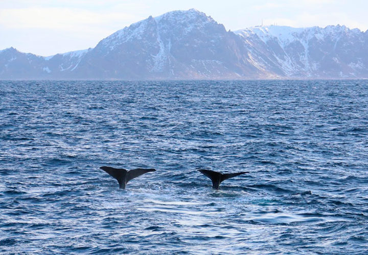 Wilde dieren spotten in Scandinavië